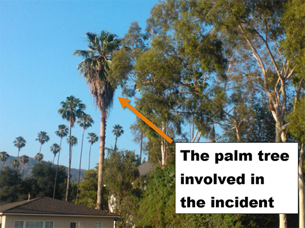 A view from the street shows the palm towering over the house, with dead fronds hanging up top.