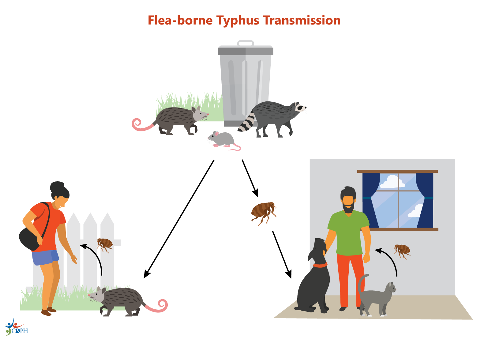 Flea-borne typhus transmission cycle showing fleas spreading bacteria from rodents to people